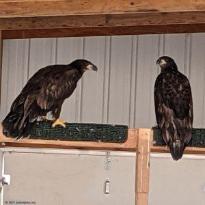 HY21 bald eagles