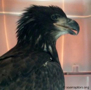 2016 fledgling eagle