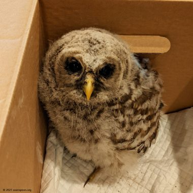 HY21 barred owl