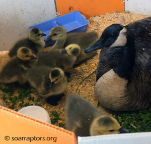 Canada goose with six goslings