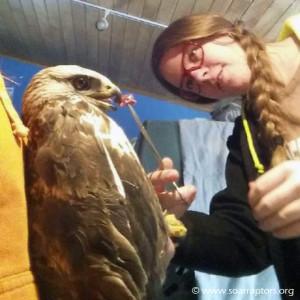 rough-legged hawk admit