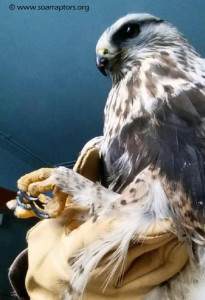 18 January 2016 rough-legged hawk admitted from near Manning, confirmed vehicle collision. Notice one of the easy identifiers of a rough-legged... feathers down to their ankles.
