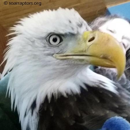 Euclid eagle