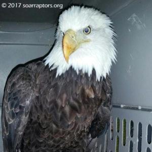 P-10 bald eagle