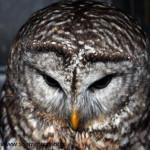 barred owl patient