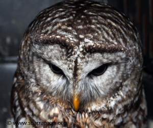 barred owl patient