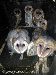 six young barn owls rescued