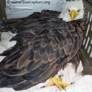 eagle admitted from Port Louisa