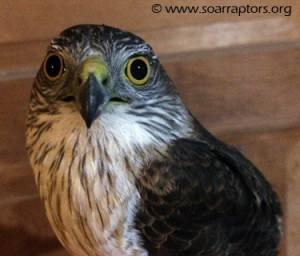 sharp-shinned hawk admit