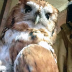 red phase screech owl admit