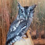 Ash screech owl