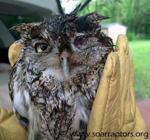 screech owl admit