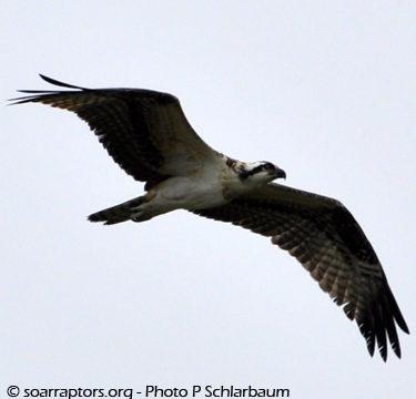 osprey flies
