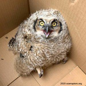 hatchling great horned owl