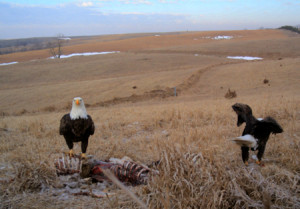 2 eagles on carcass