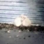 barn owls in grain bin
