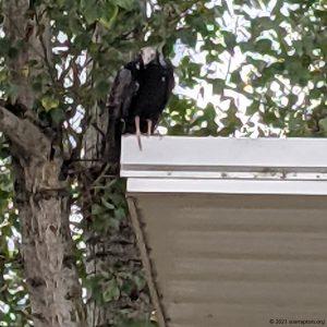 vulture on bldg