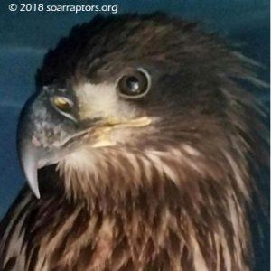 HY18 bald eagle Union