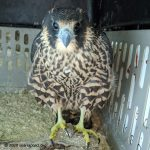 hatch-year peregrine falcon
