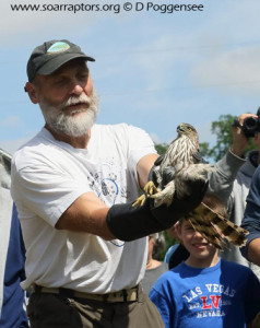 Cooper's hawk released by Tom Rosburg at the 2015 LHPS