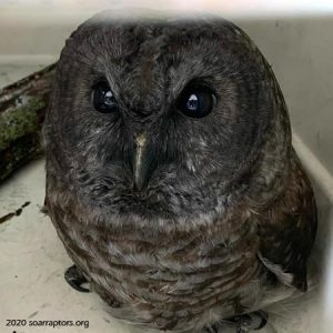 soot-covered barred owl