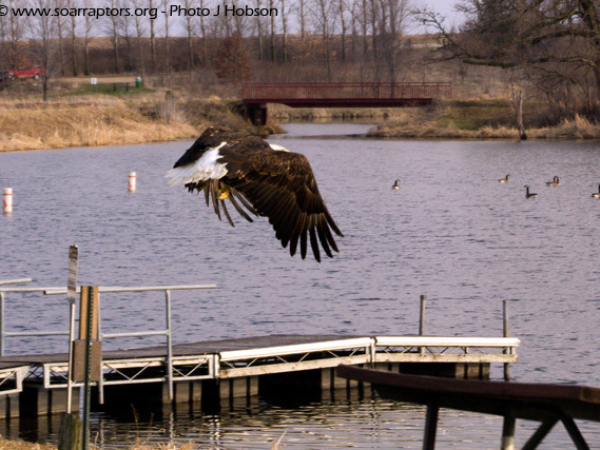 2015 eagle admit rescued from Franklin County released 14 March 2016.