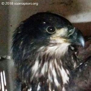 Ridgeway18 eaglet