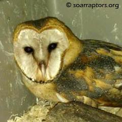 barn owl fledgling