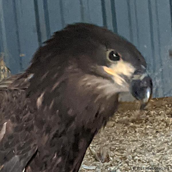 hatch-year bald eagle