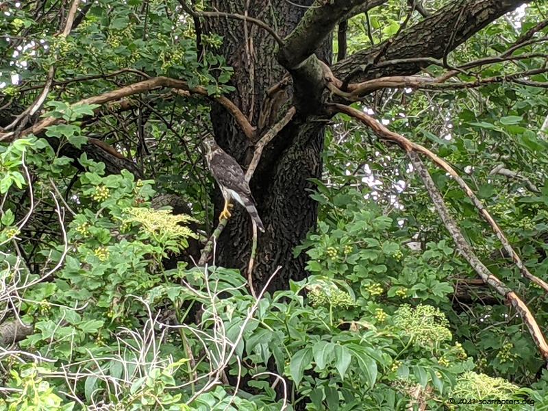 Released Cooper's hawk in tree