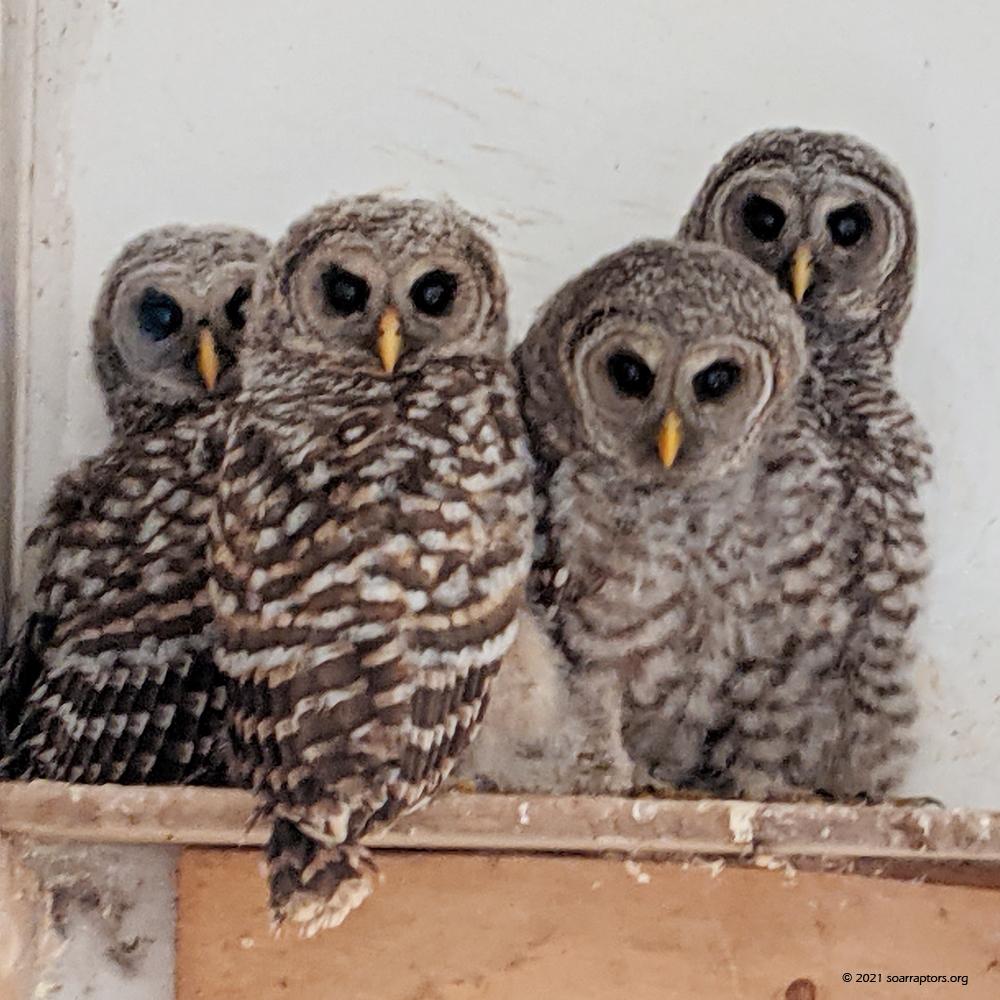 teenage barred owls