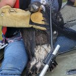hatch-year bald eagle rescue