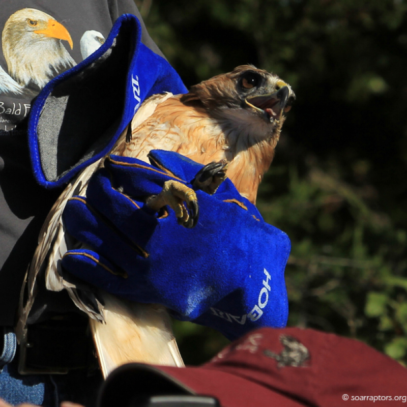 An adult male red-tailed hawk is more than ready to be released (trust me!).