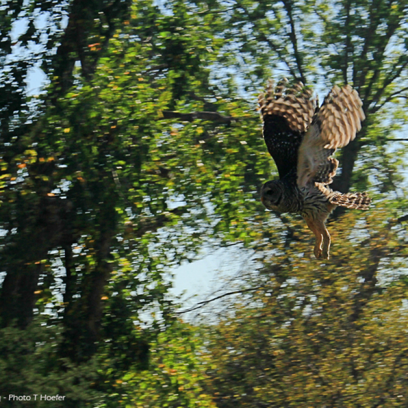 Barred owl heading for the trees.