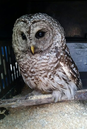 barred owl in intensive care crate