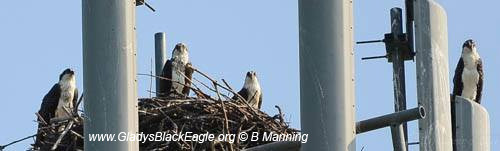 Dad and the juvenile osprey 2014