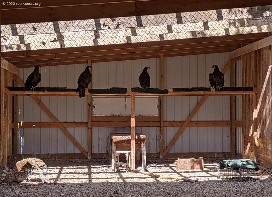 four hatch-year 2020 bald eagles