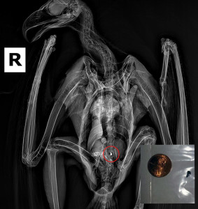 shrapnel in eagle x-ray
