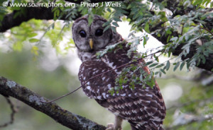 A hatch-year barred owl rescued in Jasper County sits in a nearby tree after being released.