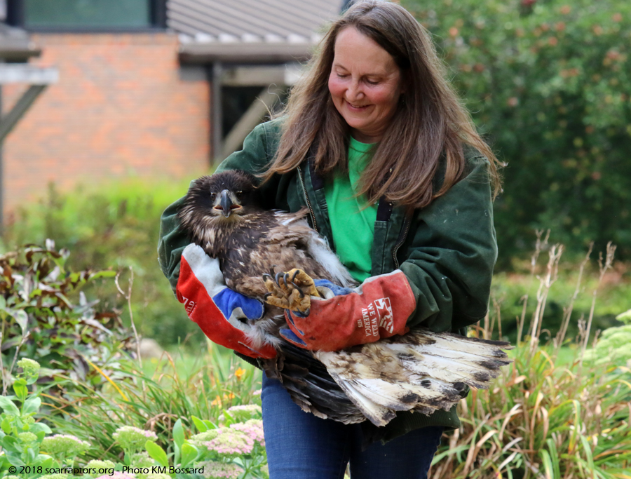 juvenile bald eagle before release
