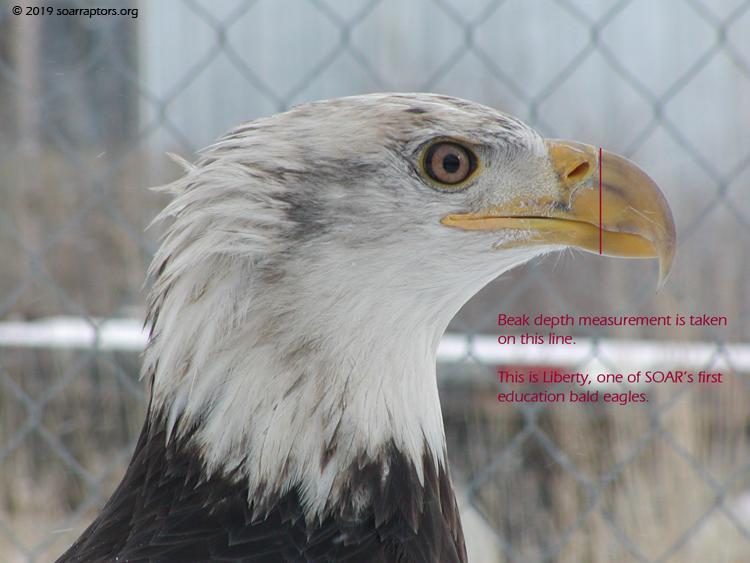 Liberty beak depth line