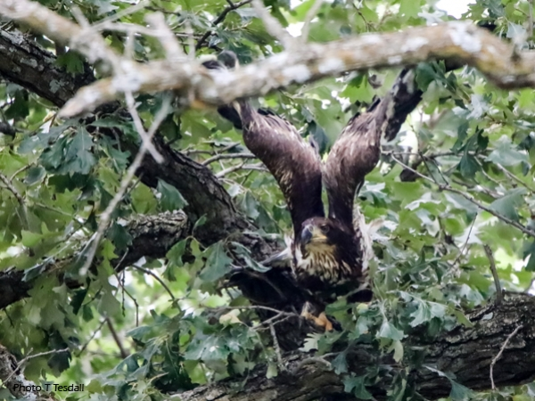 After surveying the area, New Providence eagle takes off…