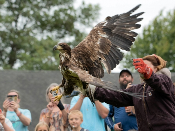 Teresa releases the New Provicence bald eagle!