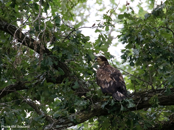 The New Providence bald eagle sits in an oak tree after release.