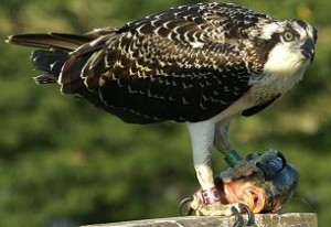 osprey PC with a fish