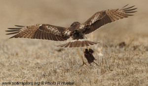 Juv RTH with prey