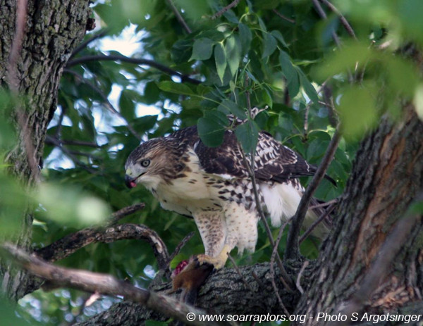 The juvenile red-tailed hawk is partaking of the successful hunt.