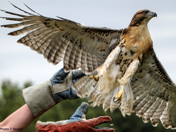 2019 Release Party juvenile red-tailed hawk release