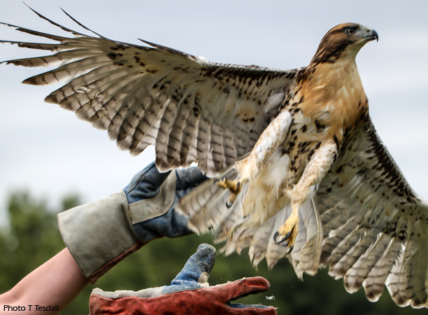 red-tail released