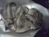 Saylorville osprey chicks